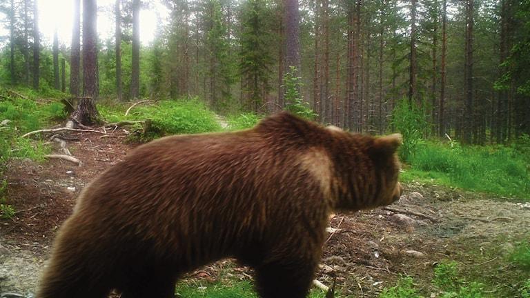 En björn i skogen