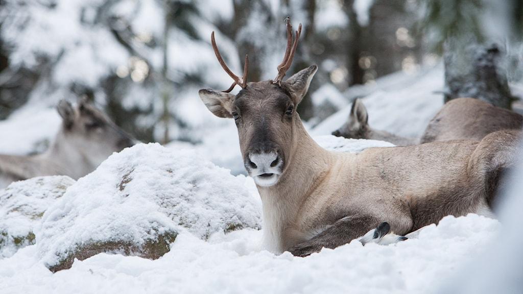 Renar som vilar i snön