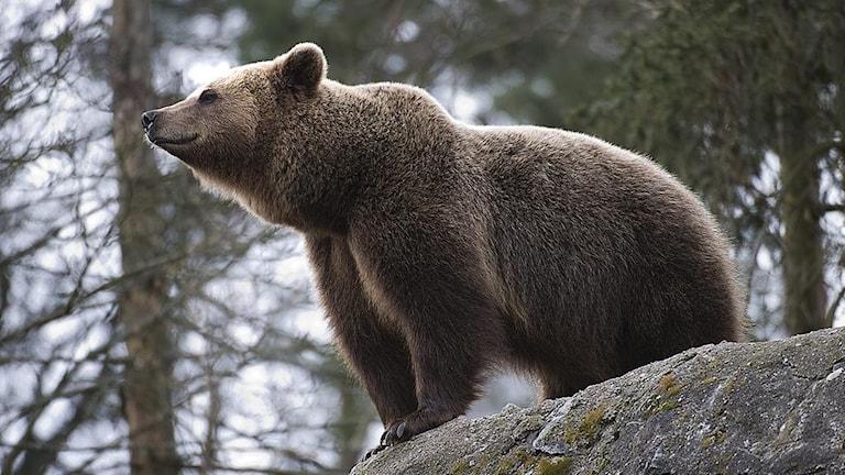En brunbjörn som står på en sten