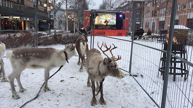 Renar på Rådhusesplanaden i Umeå under Umeå Winter live