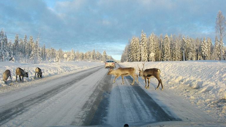 Renar längs väg 363 mellan Tavelsjö och Vindeln. Foto: Anna Burén/SR.