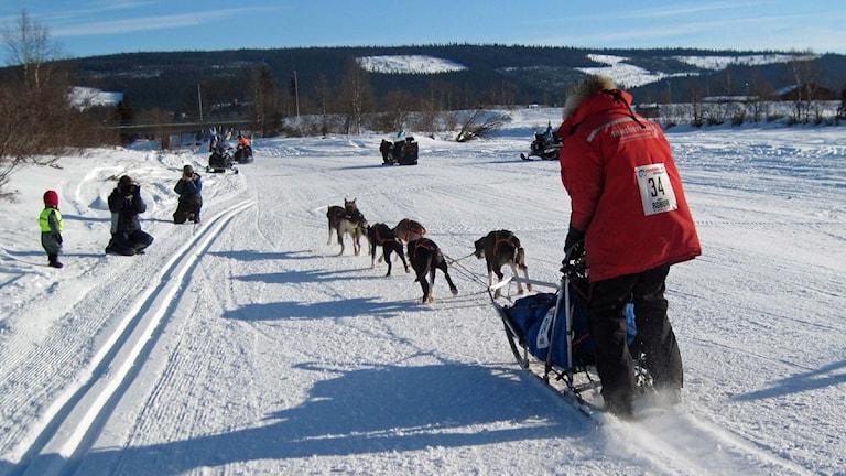 Lag Musherman startade Vindelälvsdraget 2011 redan klockan 9. Foto: Örjan Holmberg/SR.