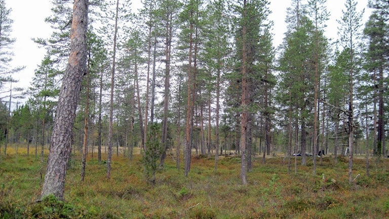Myrmark i skog.