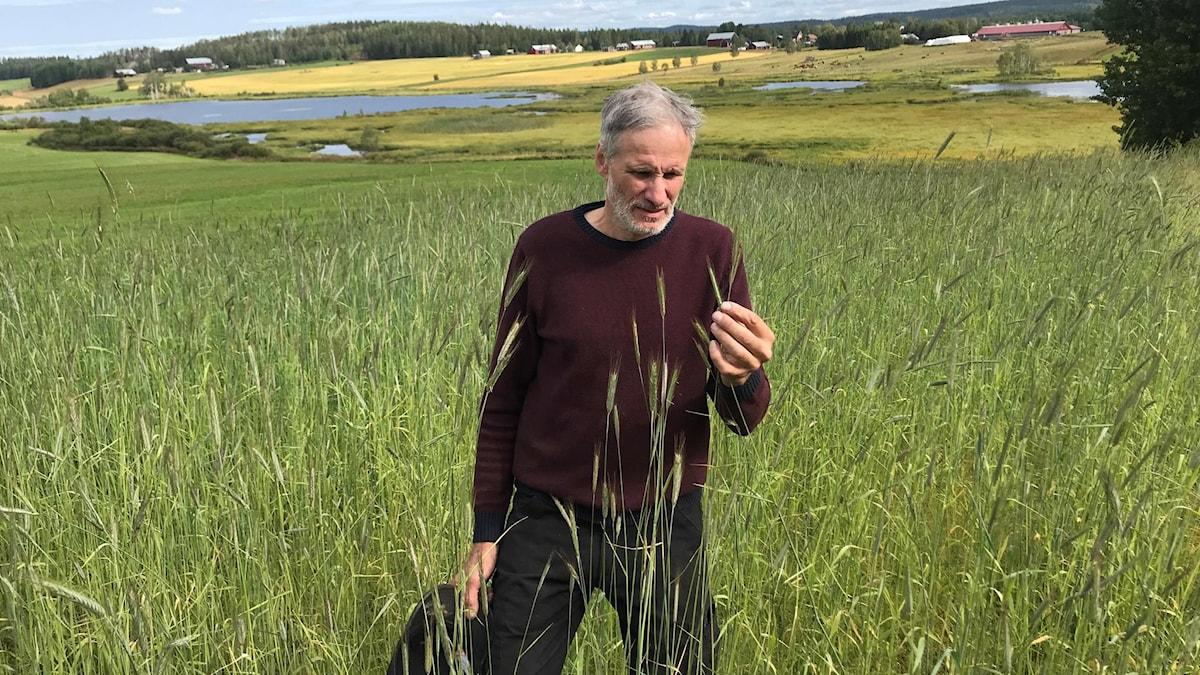 Östen Holmström inspekterar en av de gamla rågsorter han odlar på sina 12 odlingsytor
