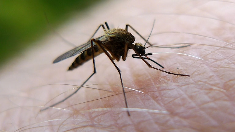 En mygga sticker en man på handen