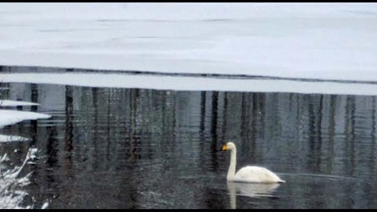 Sångsvan i vinterfruset vatten, Foto: Örjan Holmberg/SR.