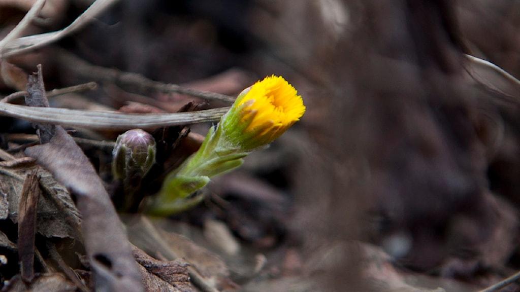 Tussilagon är ett säkert vårtecken. Foto: Anette Karlsen/Scanpix.