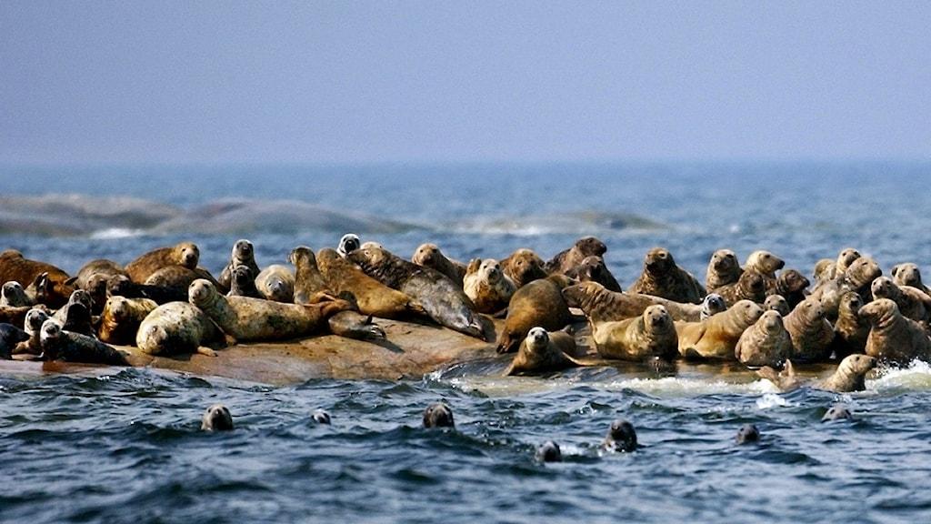 Sälar på en klippa ute i havet