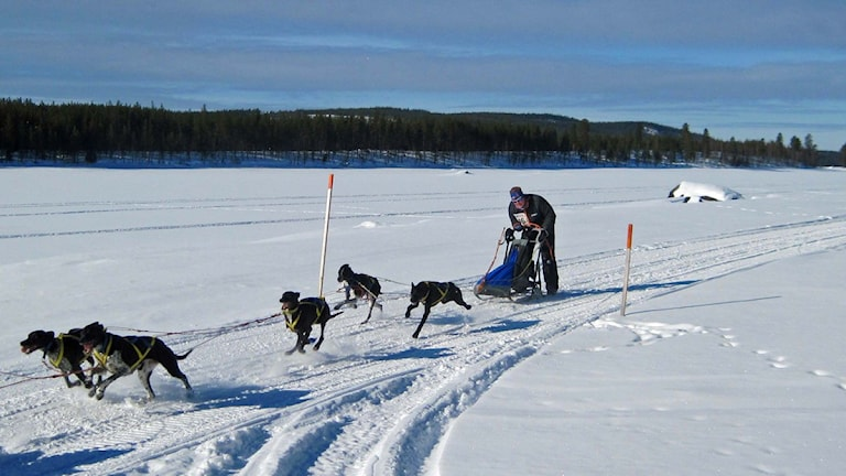 Hot Dogs från Umeå tävlar i Vindelälvsdraget. Foto: Örjan Holmberg/SR.