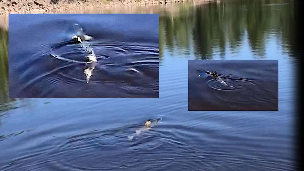 montage av tre bilder på sjuk lax