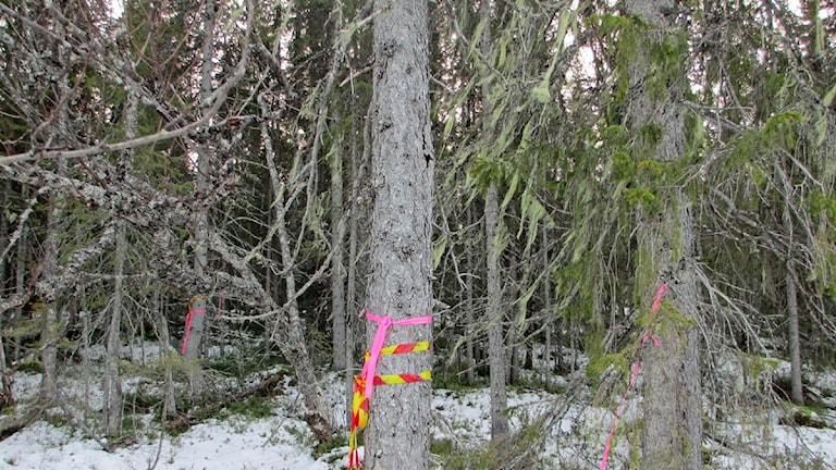 Gammal skog som ska avverkas