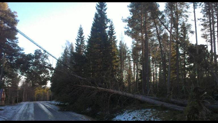 Nedblåsta träd. Foto Roger Lindmark/Vattenfall.