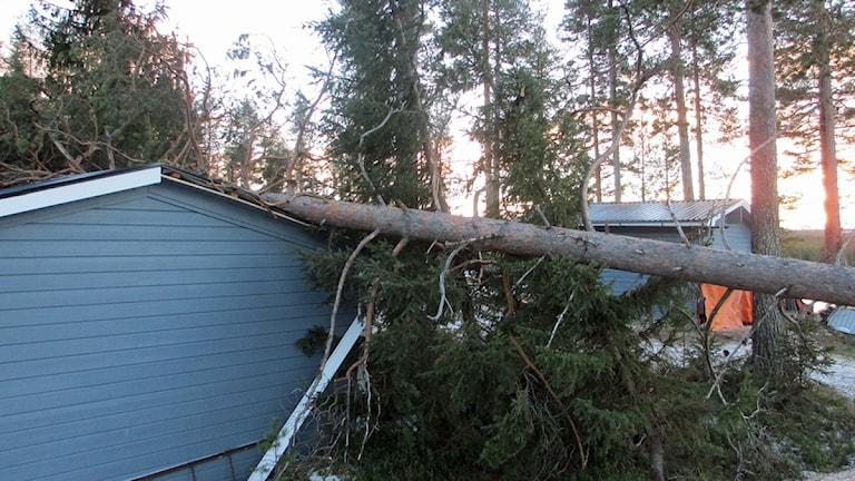 Fritisdhus i Vormsele där ett träd fallit över stugan Foto: Örjan Holmberg/Sveriges Radio