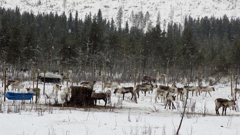 Rans sameby som utfodrar renar i närheten av Åmsele. Foto: Örjan Holmberg/SR.