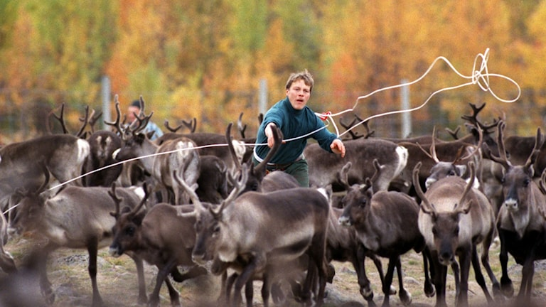 Ung same fångar in renar med lasso. Foto: Anders Wiklund/TT