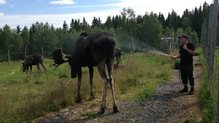 Älgens hus, värmebölja, svalka älgar. Foto: Erica Dahlgren/Sveriges Radio