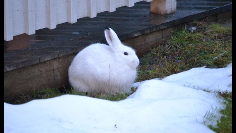 Kanin i snö