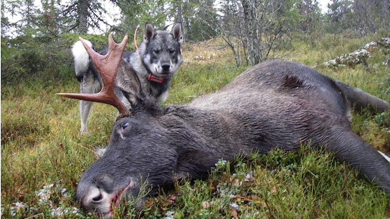 Jämthunden är den populäraste hundrasen i Umeå. Foto: Urban Ekskär