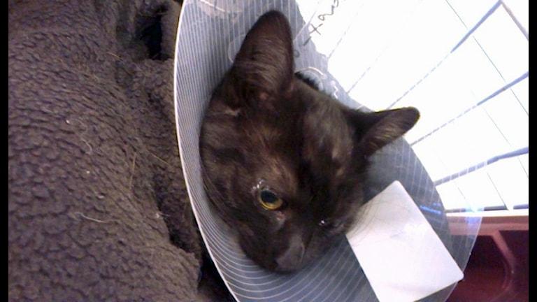 Katten Borso, katt, krage. Foto: Åza Meijer/SR.