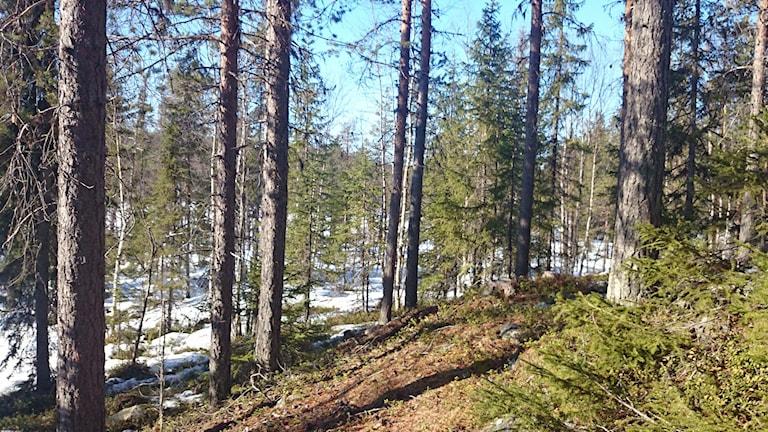 En skogssluttning ner mot en frusen sjö