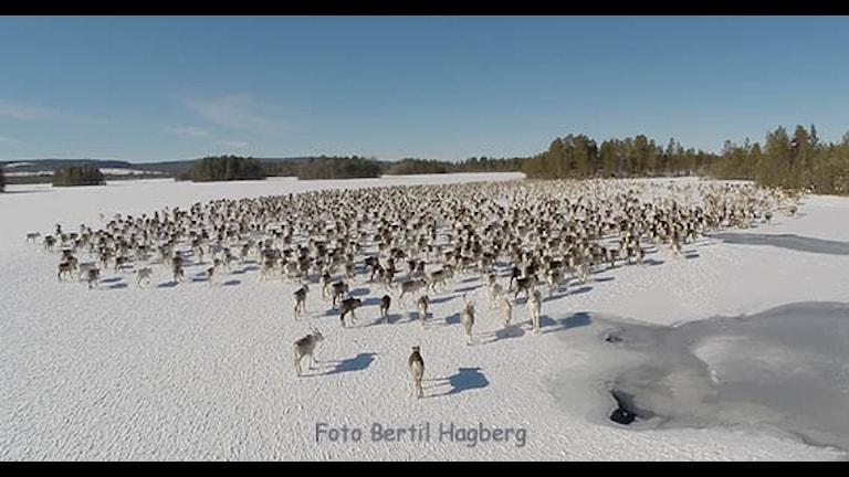 2000-3000 av Rans samebys renar ute på vindelälven, bilden är tagen uppifrån med en drönare