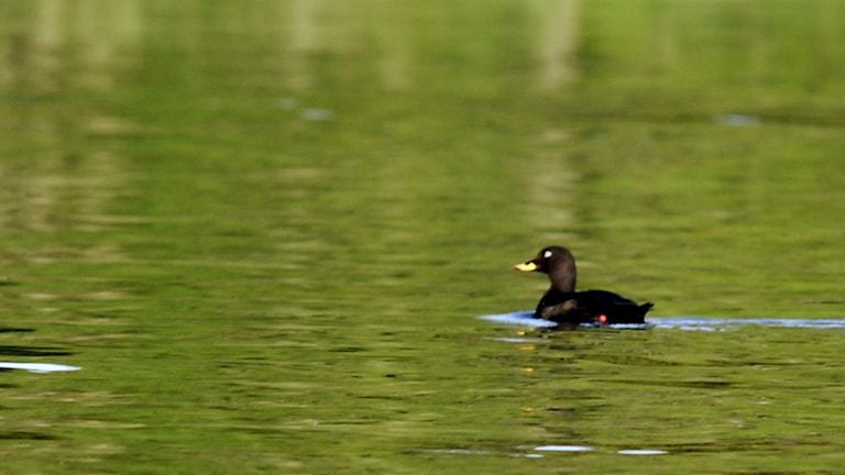 Svärtan är en av de fågelarter som minskat kraftigt på Holmöarna. Foto: Hasse Holmberg/TT
