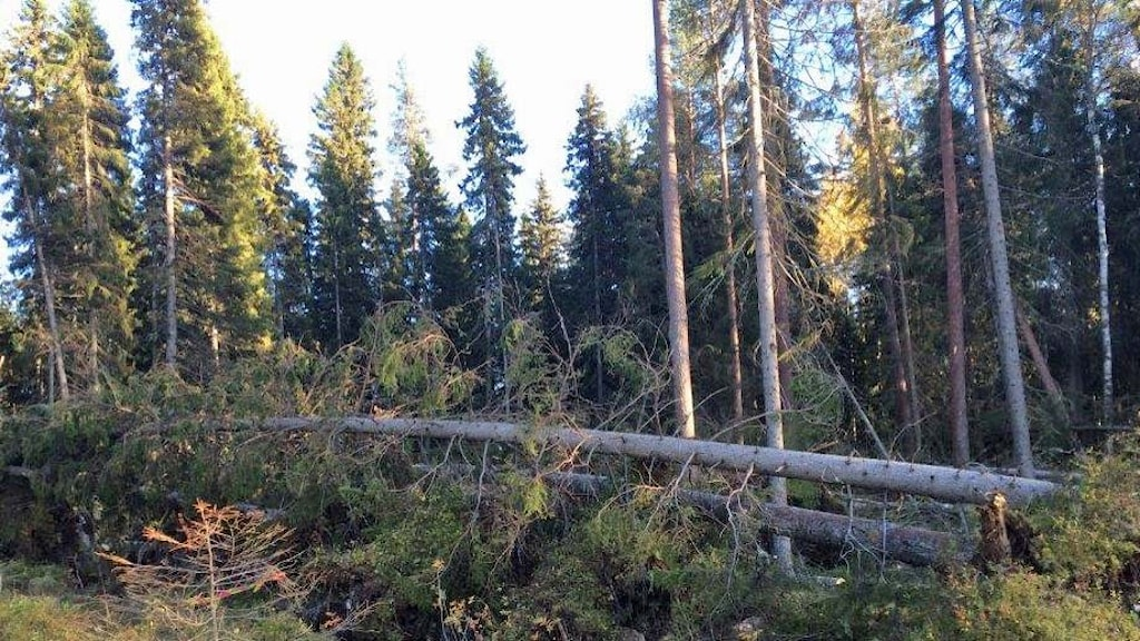 Stora granar som stormfällts i ett skogsbryn. Foto: Annalena Forsberg/SverigesRadio