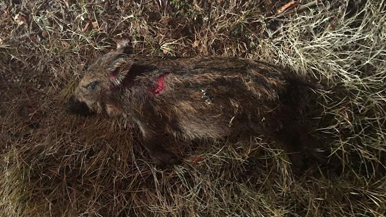 Det lilla vildsvinet som hittades i Västernorrland. Foto: Daniel Östman