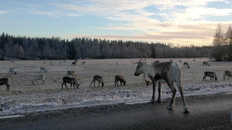 Renar vid vägkant. Foto: Erica Dahlgren/Sveriges Radio