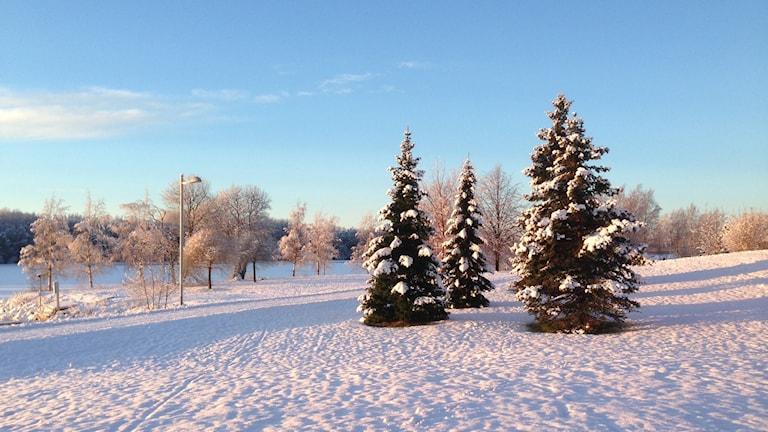 Vinterlandskap, snö, granar. Foto: Erica Dahlgren/Sveriges Radio