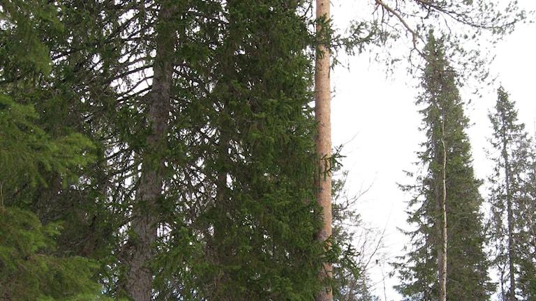 Gammal blandskog i Västerbotten