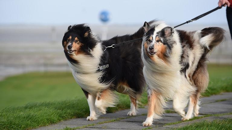 hundar i motvind