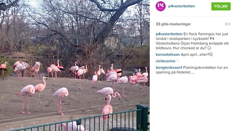 En flock flamingos.