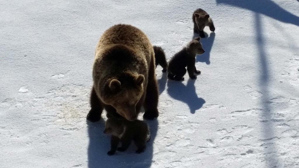 Björnungarna i Lycksele Djurpark