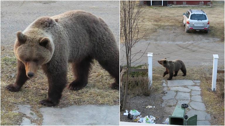 Björn i trädgård