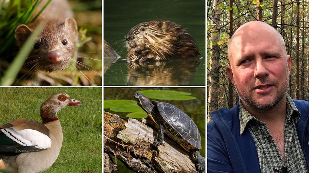 ivasiva arter, Per-Arne Åhlén, bisam, nilgås, sköldpadda, mink