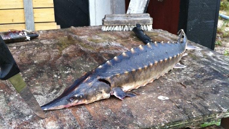 En stor läskig fisk som påminner lite om en gädda korsad med en krokodil.