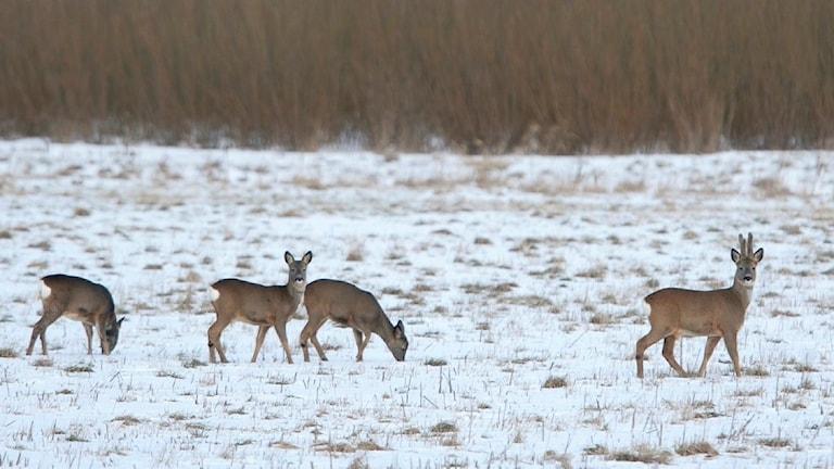 Fyra rådjur söker föda på en snötäckt åker.