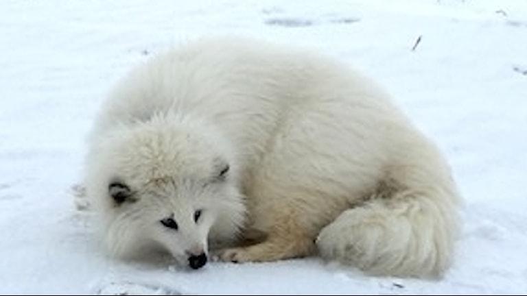 En vit mårdhund.