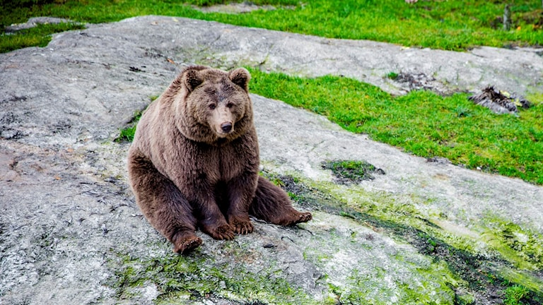 En stor brunbjörn som sitter på en stenhäll
