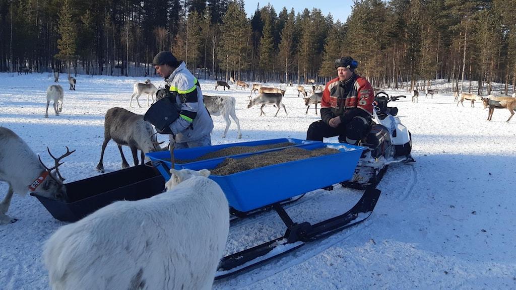 Alexandra Omma Fjällström och Robin Fjällström utfodrar sina renar.