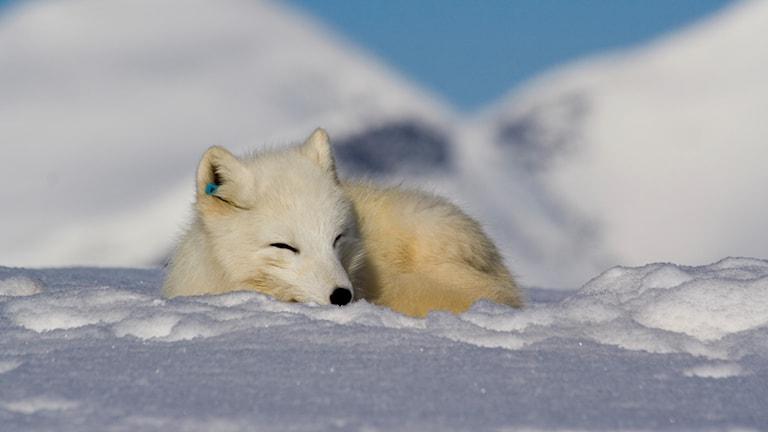 Fjällräv sover.
