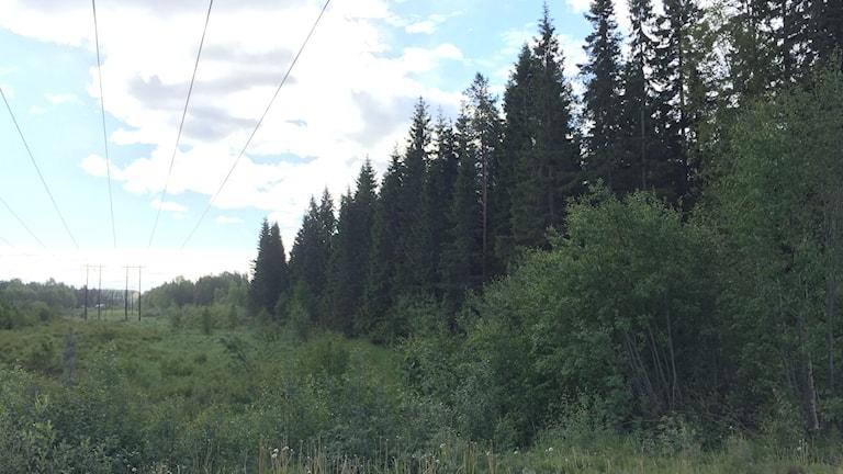 En kraftledningsgata bryter skogen där kommunen erbjuder mark till batterifabriken.