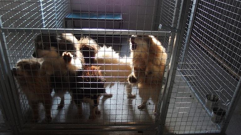 Vanvårdade hundar i Västerbotten