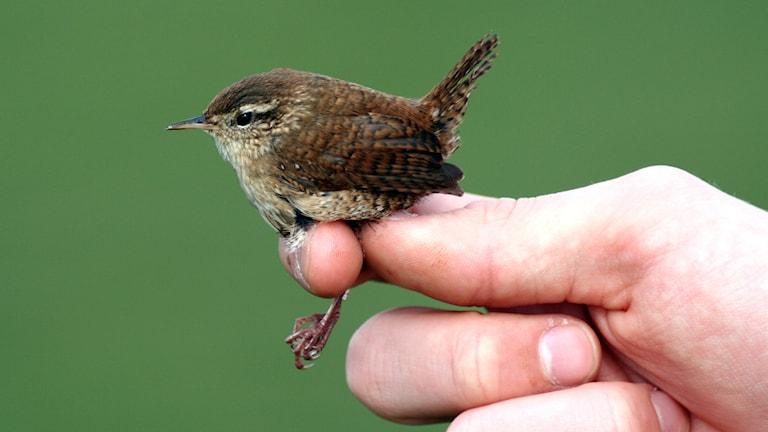 Ringmärkning av en liten flyttfågel
