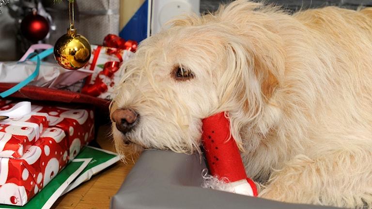Hund mitt i julfirandet.