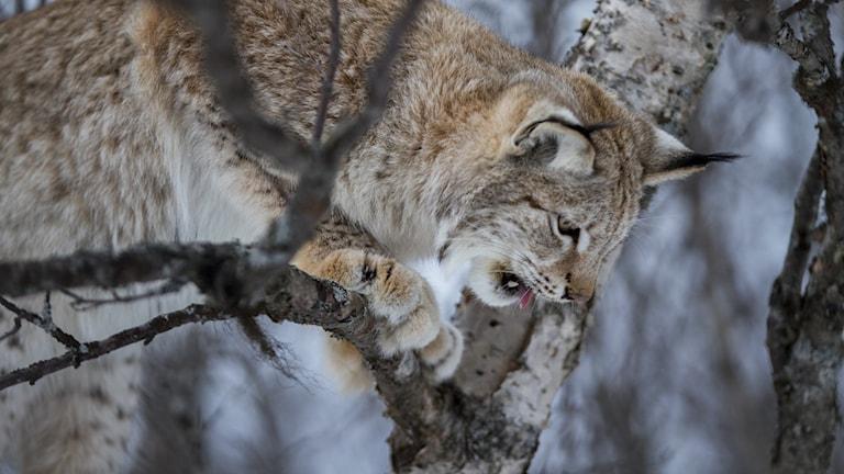 Ett lodjur i ett träd foto Heiko Junge/TT
