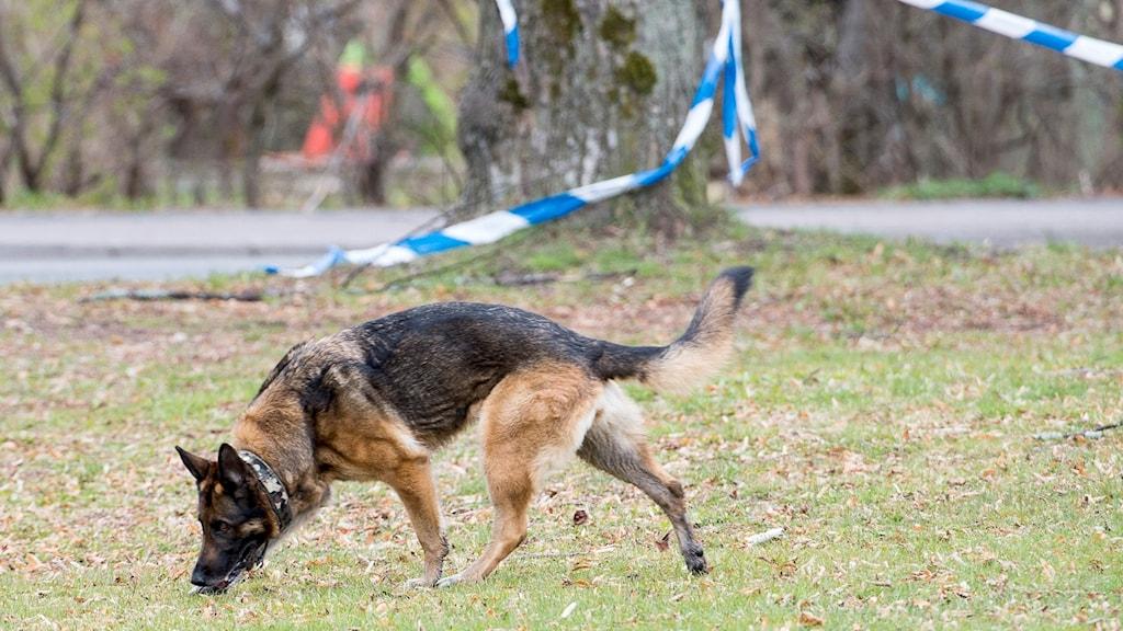 En schäferhund som söker på marken. Polisens blåvita avspärrningsband i bakgrunden.