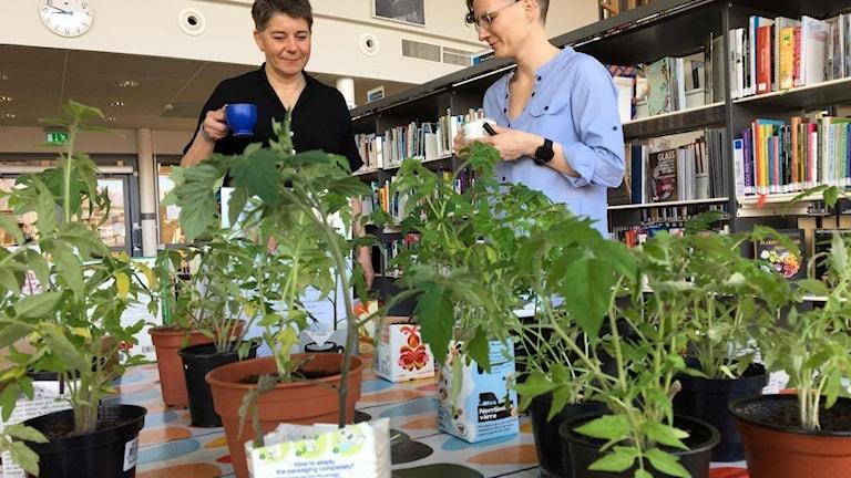 Tomatplantor står redo att bytas ut mot andra, spännande växter.