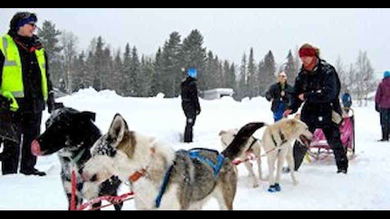 Siberian husky är en köldtålig ras. Foto Örjan Holmberg/SR.